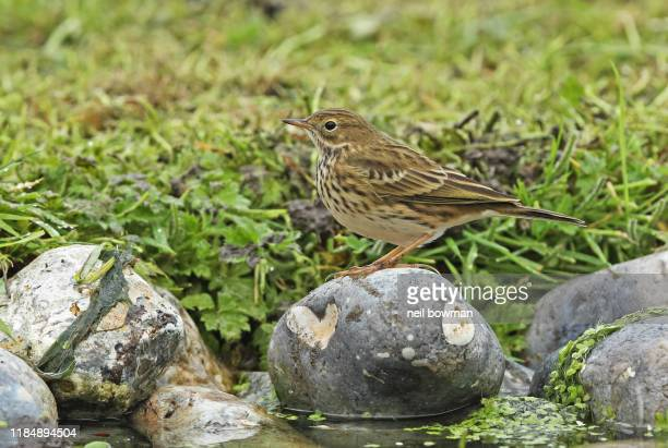 meadow pipit anthus pratensis adult standing