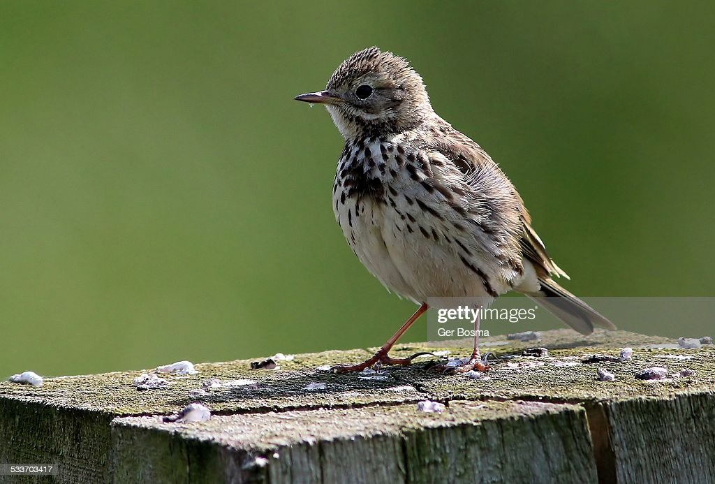 Meadow Pipit Poser : Foto stock