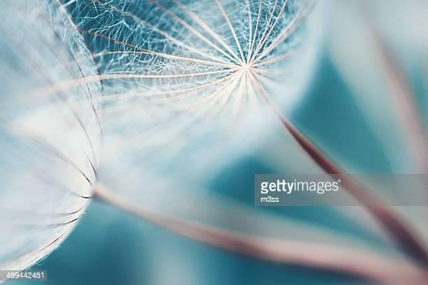 Meadow salsify abstract dreamlike