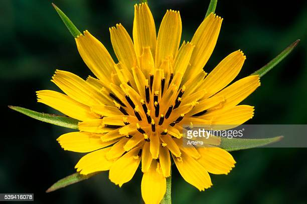 Meadow Salsify / Showy Goat'sbeard / Meadow Goat'sbeard / Jackgotobedatnoon in flower