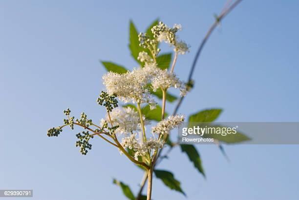 Meadow sweet Filipendula ulmaria