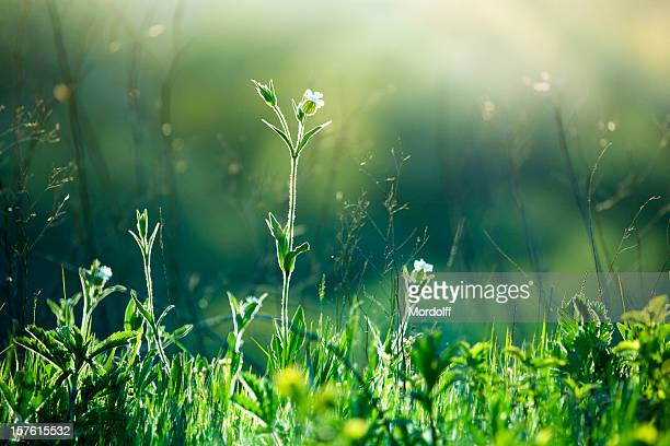 meadow wildflowers and grass at sunrise - uncultivated stock pictures, royalty-free photos & images