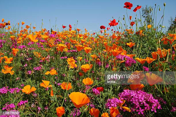 meadow with blooming orange and purple  wildflowers - wildflower stock pictures, royalty-free photos & images