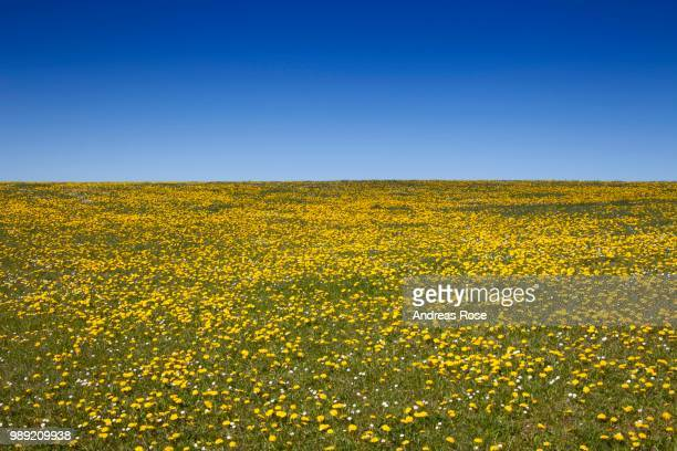 meadow with dandelions (taraxacum officinale) in spring, sylt, schleswig-holstein, germany - schleswig holstein stock pictures, royalty-free photos & images