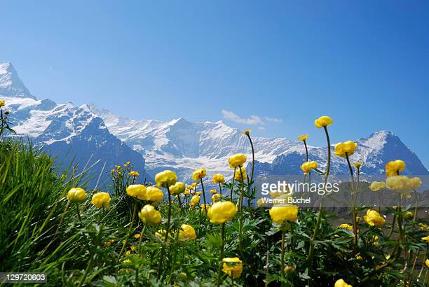 meadow with flowers in swiss alps - swiss alps stock pictures, royalty-free photos & images