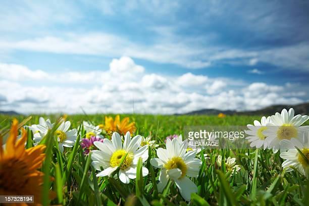 Wiese mit Blumen