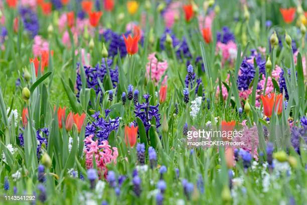 meadow with garden hyacinths (hyacinthus orientalis hybride), small grape hyacinths (muscari botryoides) and tulips (tulipa), north rhine-westphalia, germany - grape hyacinth stock pictures, royalty-free photos & images