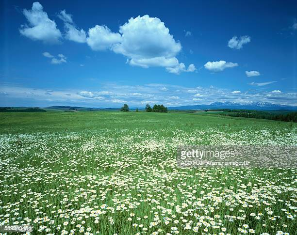 meadow with white wildflowers - 自生 ストックフォトと画像