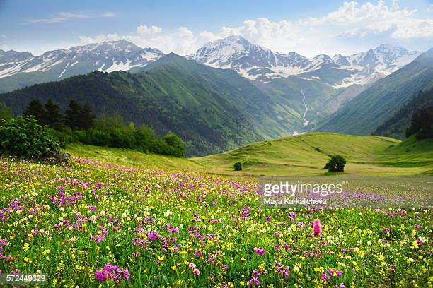 Meadow with wildflowers in Caucasus mountain