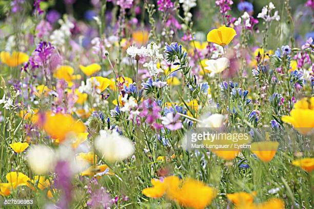 meadow with wildflowers - wildflower stock pictures, royalty-free photos & images