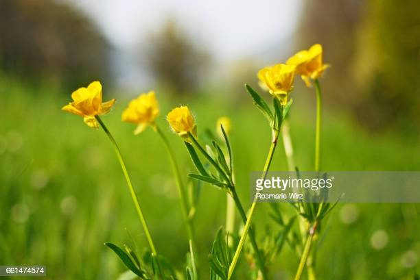 meadow with yellow buttercups in natural surroundings. - buttercup stock pictures, royalty-free photos & images