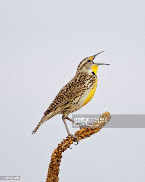 Meadowlark Sings A Lusty Song