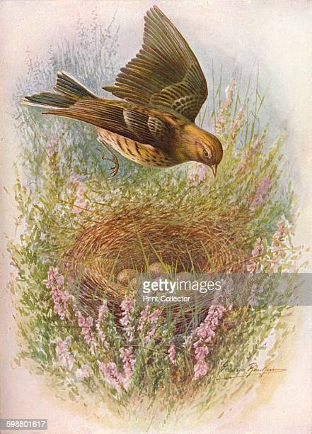MeadowPipit or Titlark Anthus pratensis circa 1910 From Britains Birds and Their Nests by A Landsborough Thomson [The Waverley Book Company Limited W...