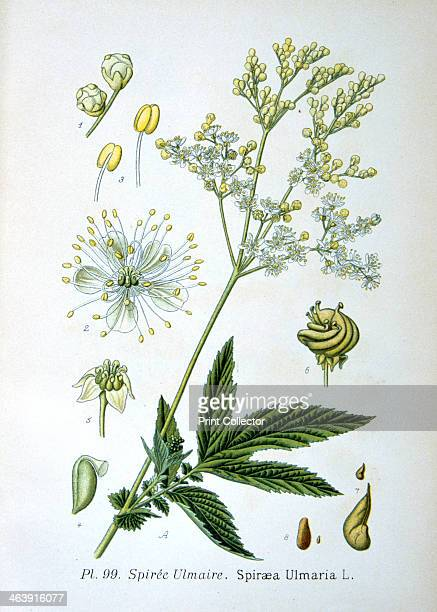 Meadowsweet 1893 Botanical illustration of Spiraea Ulmaria or meadowsweet from an atlas of the plants of France