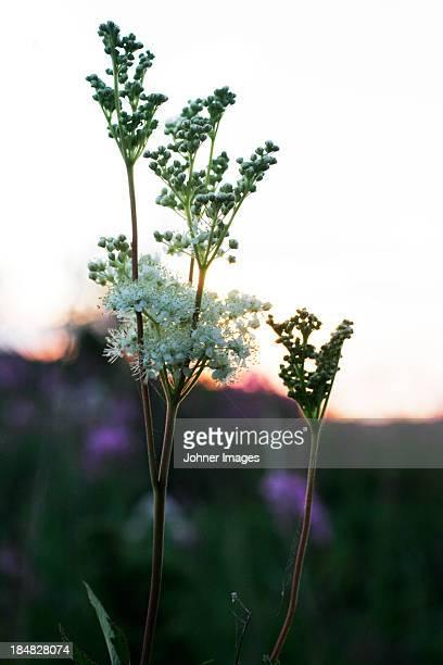 Meadowsweet at dusk
