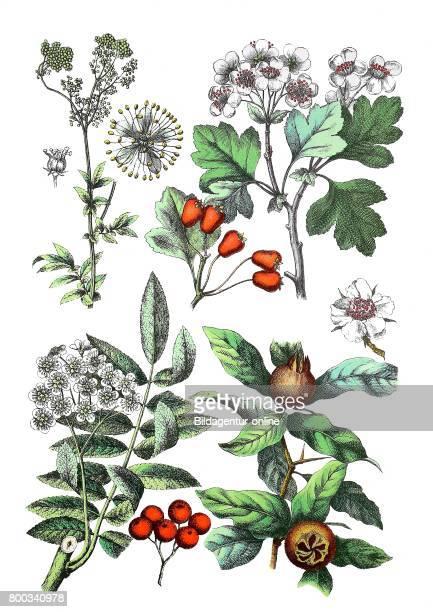 Meadowsweet Filipendula ulmaria midland hawthorn Crataegus laevigata rowan mountainash Sorbus aucuparia common medlar Mespilus germanica