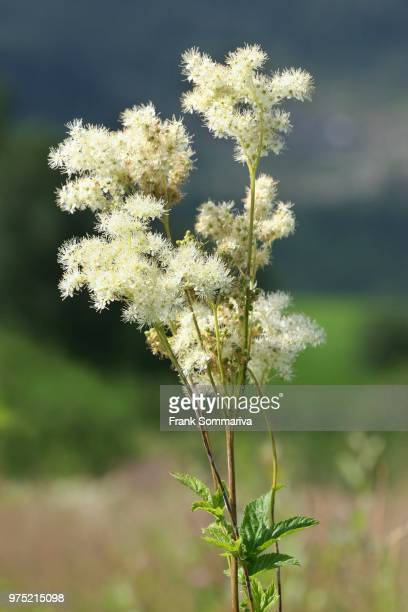 Meadowsweet (Filipendula ulmaria), flowering, Thuringia, Germany