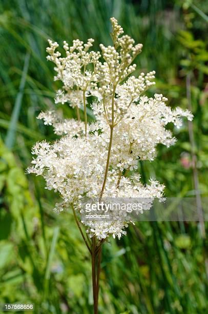 Filipendule aux herbes et aux fleurs
