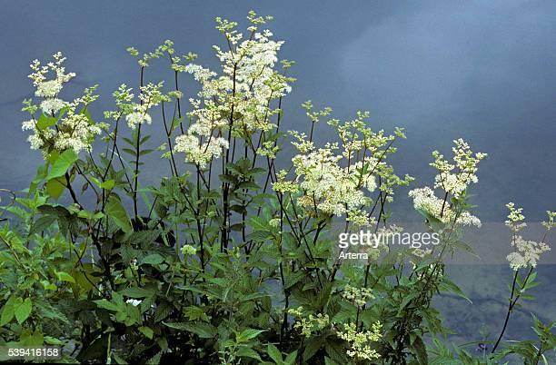 Meadowsweet / mead wort in flower on riverbank