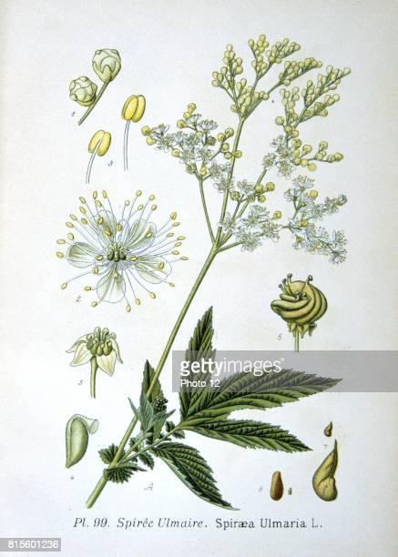 Meadowsweet perennial herb native of Europe and Western Asia Used as a strewing herb a flavouring in wine and preserves and in pot pourr From Amedee...