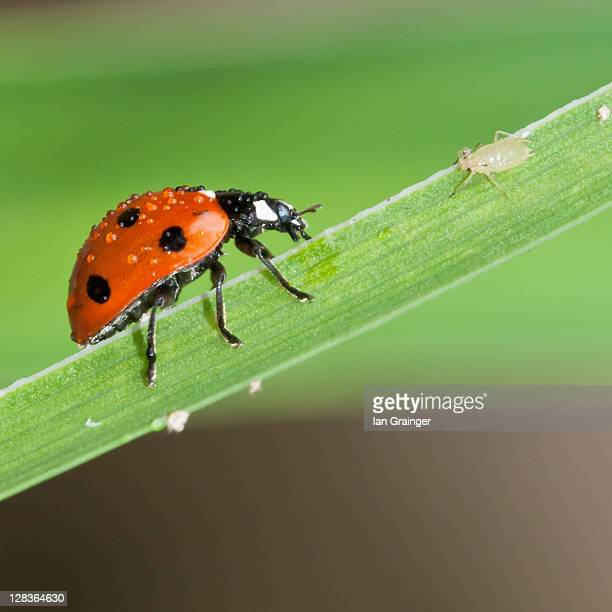 mealtime - aphid stock pictures, royalty-free photos & images