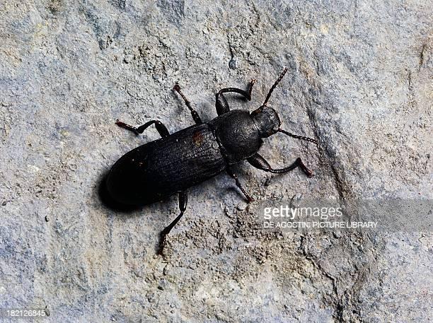 Mealworm Beetle Coleoptera