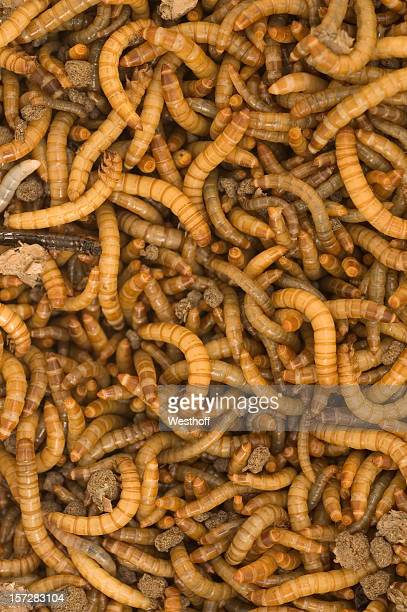 mealworm colony - mealworm stock photos and pictures
