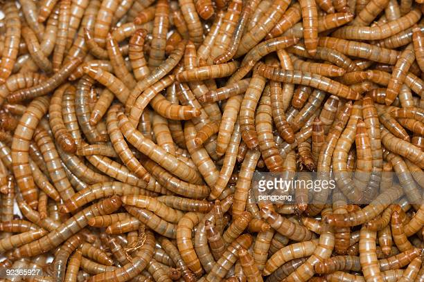 mealworm - mealworm stock photos and pictures