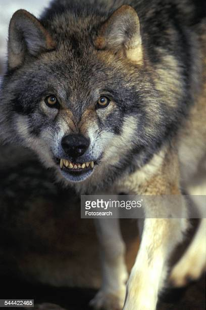 mean wolf - bad teeth stock photos and pictures