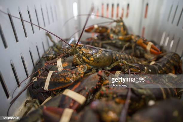 Measured lobsters sit in a crate aboard a boat off of Hull Massachusetts US on Wednesday May 17 2017 New restrictions are coming to southern New...
