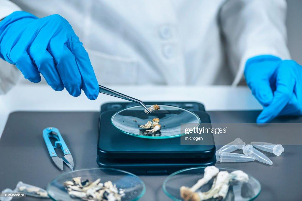 Measuring Psilocybin Magic Mushroom Micro Doses in Laboratory for A Scientific Experiment : Stock Photo