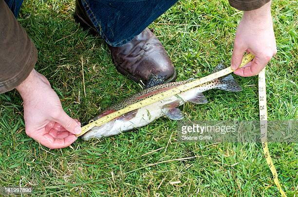 Measuring rainbow trout