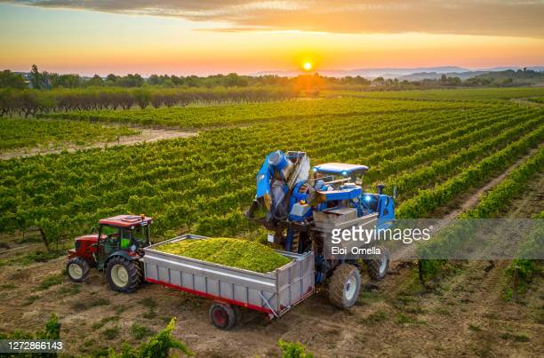 mechanical harvester of grapes in the vineyard filling the grapes in a tractor trailer - viniculture stock pictures, royalty-free photos & images
