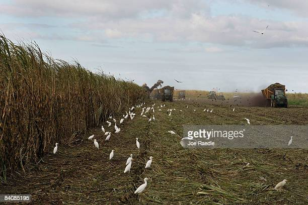 Mechanical harvesters cut sugar cane in the US Sugar Corporation fields December 18 2008 in Clewiston Florida This week the South Florida Water...