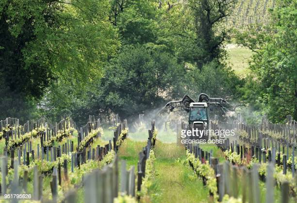 A mechanical spreader sprays a phytosanitary treatment on the wine grapes in prevention against mildew or oidium the main wine grapes diseases on...