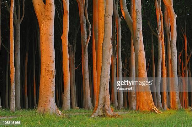Mecklenburg-Western Pomerania, Beech tree forest at sunrise