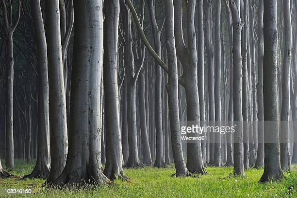 mecklenburg-western pomerania, beech tree forest - beech tree stock pictures, royalty-free photos & images