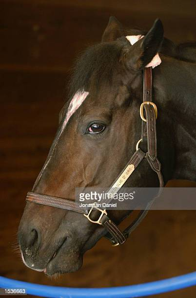 Medaglia d'Oro trained by Bobby Frankel and entered in the Breeders' Cup Classic looks on from his stall before workouts for the 2002 Breeders' Cup...