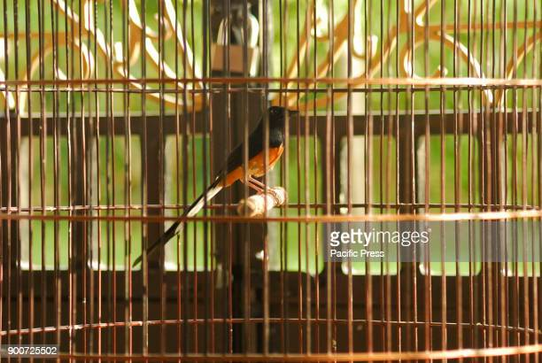 Medan white rumped shama is an endemic bird from north Sumatera The whiterumped shama is a small passerine bird of the family Muscicapidae