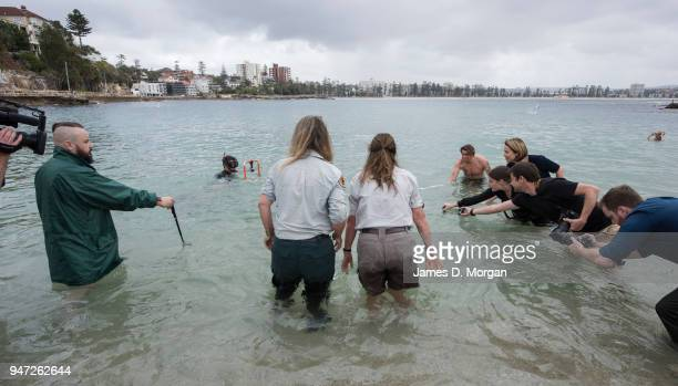 Media film the release of the penguins at Shelly Beach on April 17 2018 in Sydney Australia The five Little Penguins were released by veterinarians...