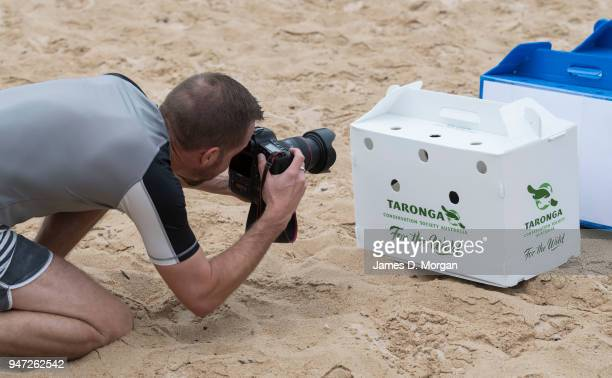 A media photographer photographs a box containing a Little Penguin at Shelly Beach on April 17 2018 in Sydney Australia The five Little Penguins were...