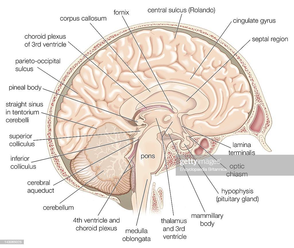 Medial view of the left hemisphere of the human brain pictures medial view of the left hemisphere of the human brain ccuart Images