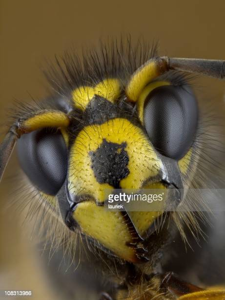 median wasp (dolichovespula) portrait - bug eyes stock photos and pictures