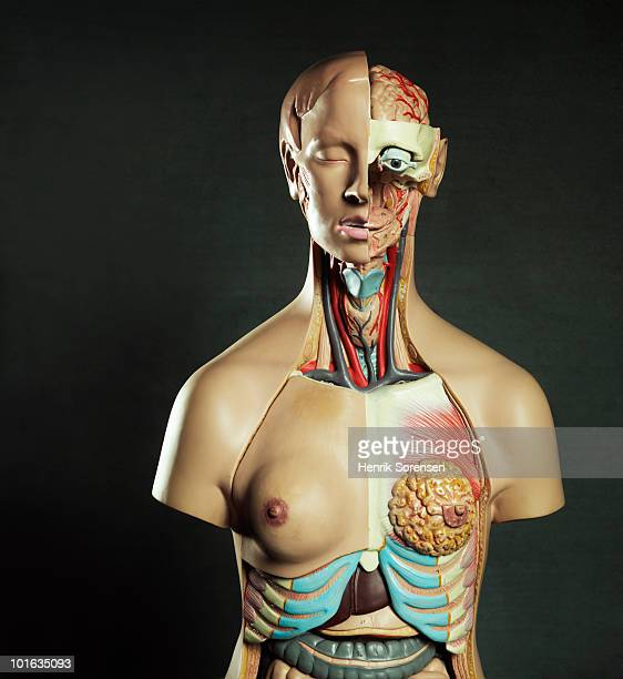 medical anatomical female torso figure - anatomical model stock pictures, royalty-free photos & images