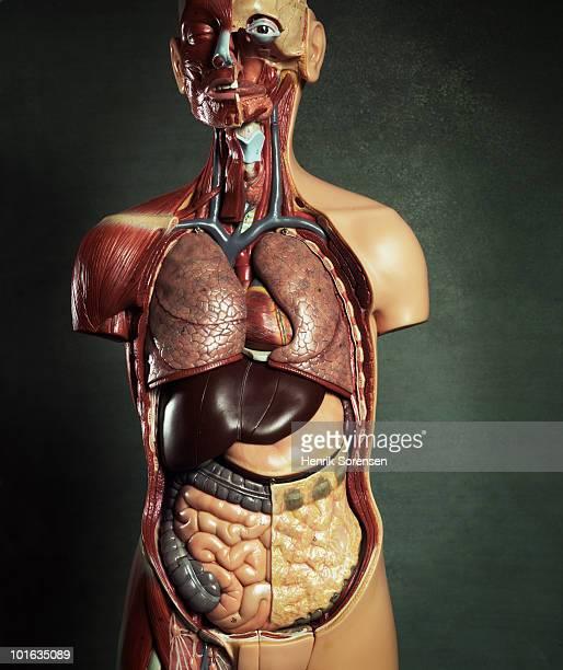 medical anatomical torso figure - intestino humano fotografías e imágenes de stock