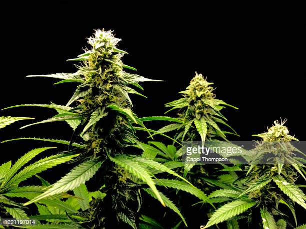 medical cannabis chernobyl strain over black background - cannabinoid stock pictures, royalty-free photos & images