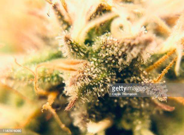 medical cannabis close up with trichomes in site - トリコーム ストックフォトと画像