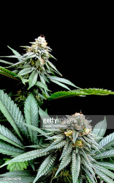 medical cannabis cola buds over black background - cannabinoid stock pictures, royalty-free photos & images