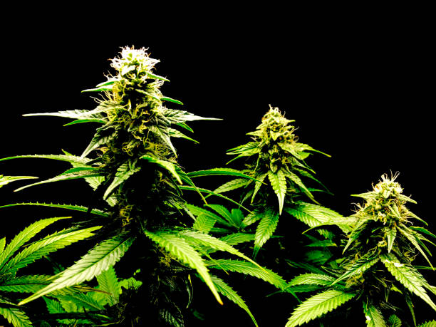 Medical cannabis growing over black background indoors