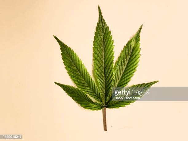medical cannabis leaf over a white background - marijuana leaf stock pictures, royalty-free photos & images